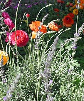 lavender_in_garden.jpg