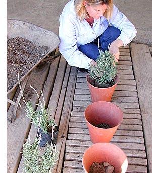 lavender_in_pots.jpg